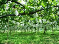 ②林檎と葡萄の樹(果樹園)